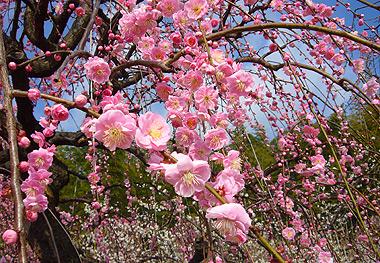 しだれ梅祭り(農業センター)