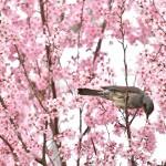 梅から桜に主役交代