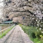 地面は桜のじゅうたん