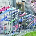 【原駅前商店街振興組合・平針北学区】天白川に鯉のぼりを泳がせよう