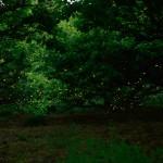 相生山のヒメボタル
