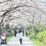 桜が見ごろ